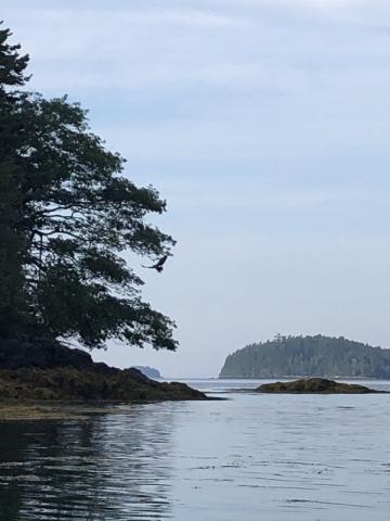 Bald Eagle Off Snow Island